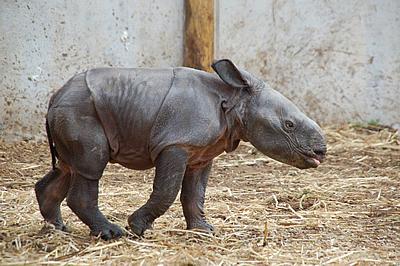 Der kleine Tuto, 11 Tage alt, 19. Februar 2012 (Foto: Terra Natura Benidorm)