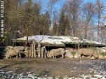 Tamu (li), Kifaru (Mitte) und Yeti (re), Salzburg Zoo, 27. November 2013