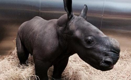 Rhino Baby Werribee Zoo