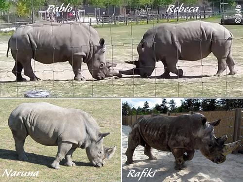 Rhinos in Veszprém