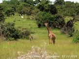 Massai-Giraffe und Zebras