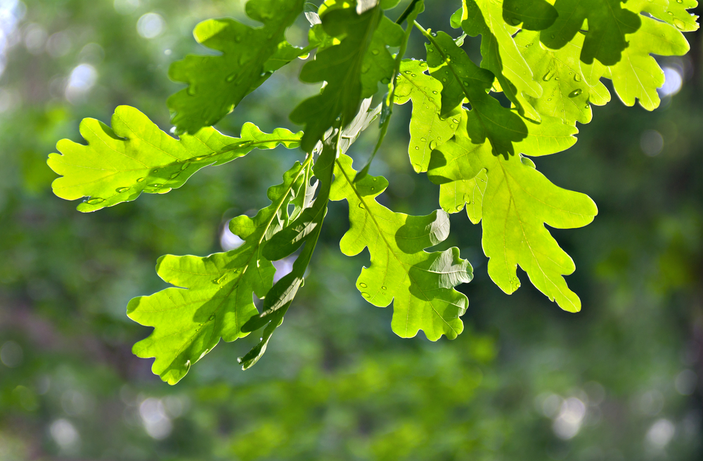 European Oak leaves