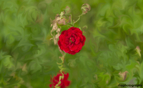 Autumn-Red-Rose-A