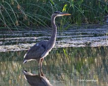 (2) Great Blue Heron