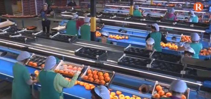 Tècnics i Agricultors analitzen la producció i comercialització del Kaki