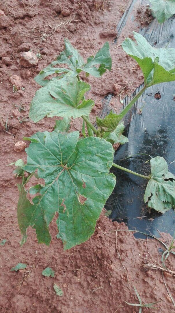 LA UNIÓ informa que la pedra del cap de setmana danya unes 15.000 hectàrees de cultiu en la província de València