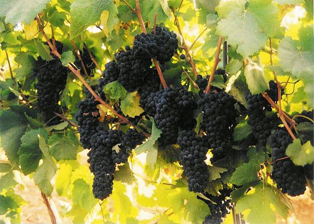 Expertos en viticultura de cuatro países se han reunido hoy en València para fomentar la biodiversidad en los viñedos