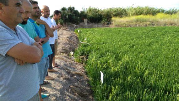 AVA-ASAJA i Agriges presenten en L'Albufera un tractament nutricional ecològic per a l'arròs