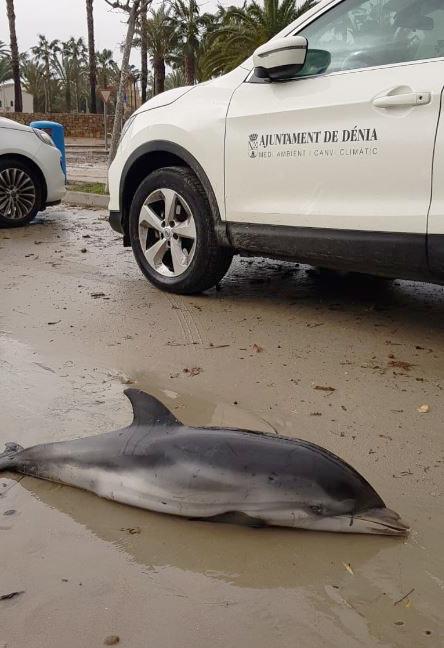 Apareixen set dofins encallats durant el temporal