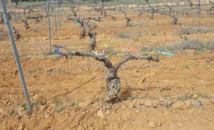 Investiguen nous tractaments respectuosos amb el medi ambient contra les malalties fúngiques de la fusta de la vinya