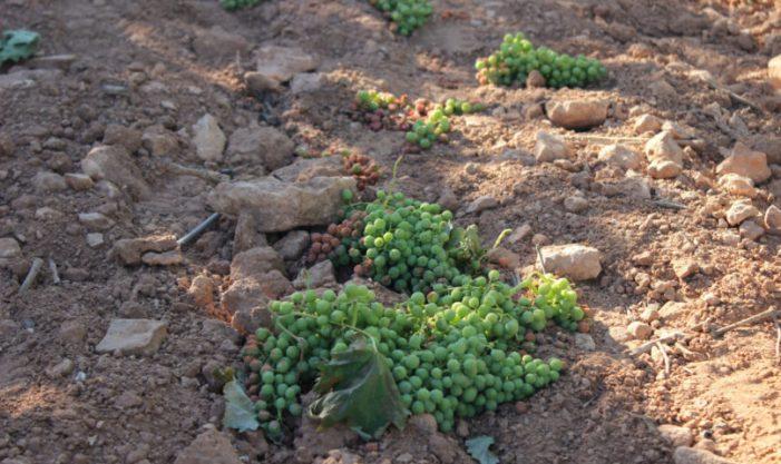LA UNIÓ anima als viticultors de la Comunitat Valenciana a demanar les ajudes per la crisi del sector que finalitzen dimarts que ve