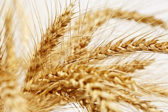 LA UNIÓ informa que s'espera un augment del 25% en la collita del cereal de la Comunitat Valenciana sobre la passada campanya
