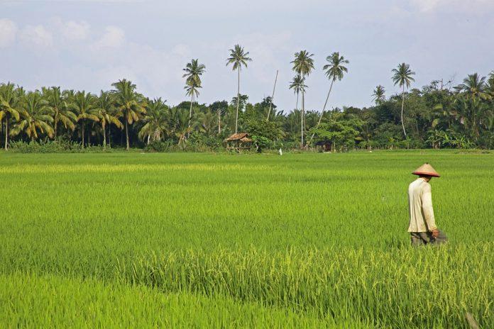 LA UNIÓ de Llauradors demana que se suspenguen cautelarment les importacions d'arròs lliure d'aranzels amb Myanmar fins que no hi haja garanties democràtiques