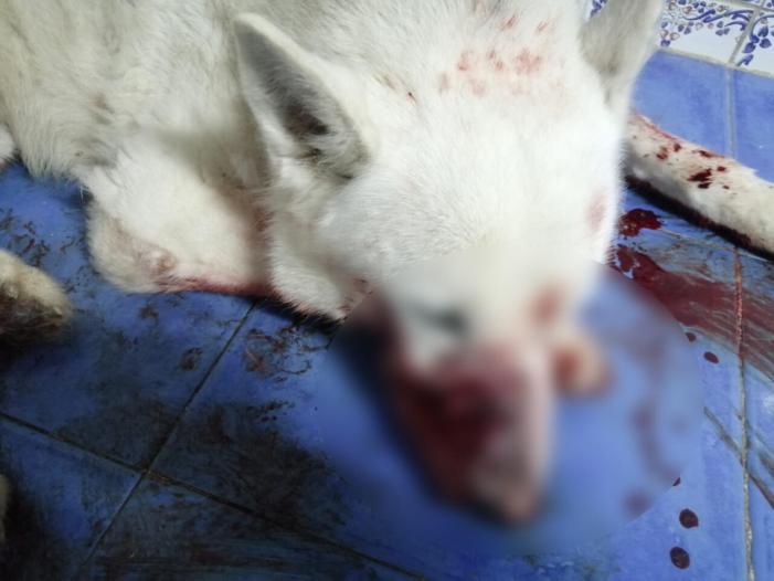 La Policia Local d'Alzira rescata un gos ferit pel seu amo