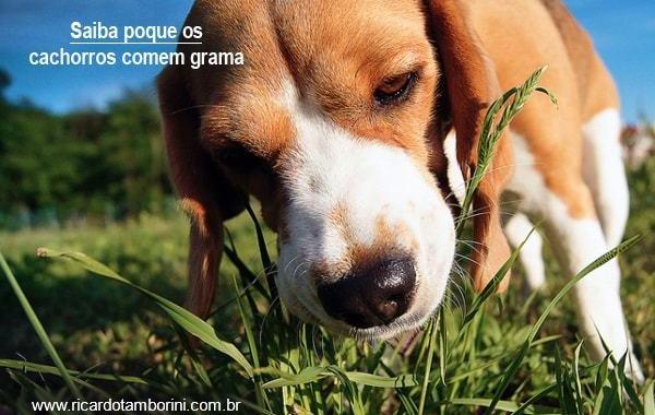 Meu cachorro come grama | Saiba porque isso ocorre!