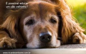 É possível educar um cão velhinho