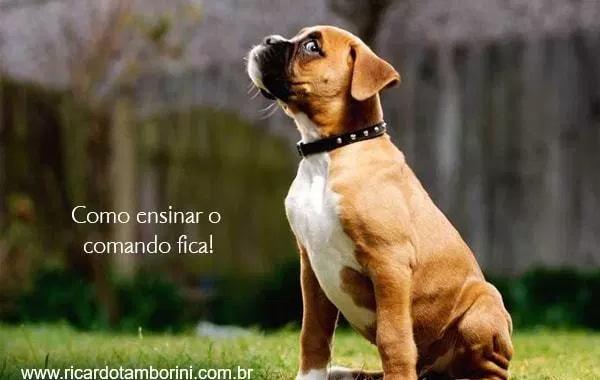 Como ensinar o comando fica ao seu cachorro – Comados básicos