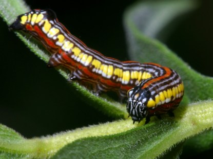 the caterpillar of the brown hooded owlet moth