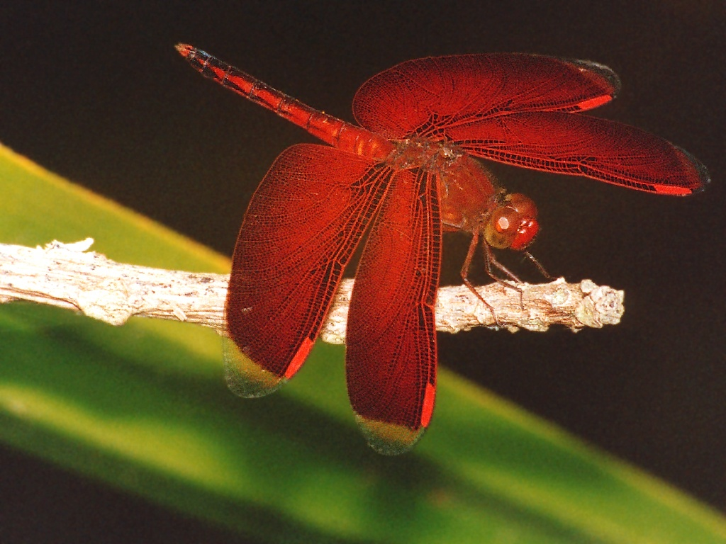 https://i2.wp.com/www.richard-seaman.com/Wallpaper/Nature/Dragonflies/SolomonIslandDragonfly.jpg