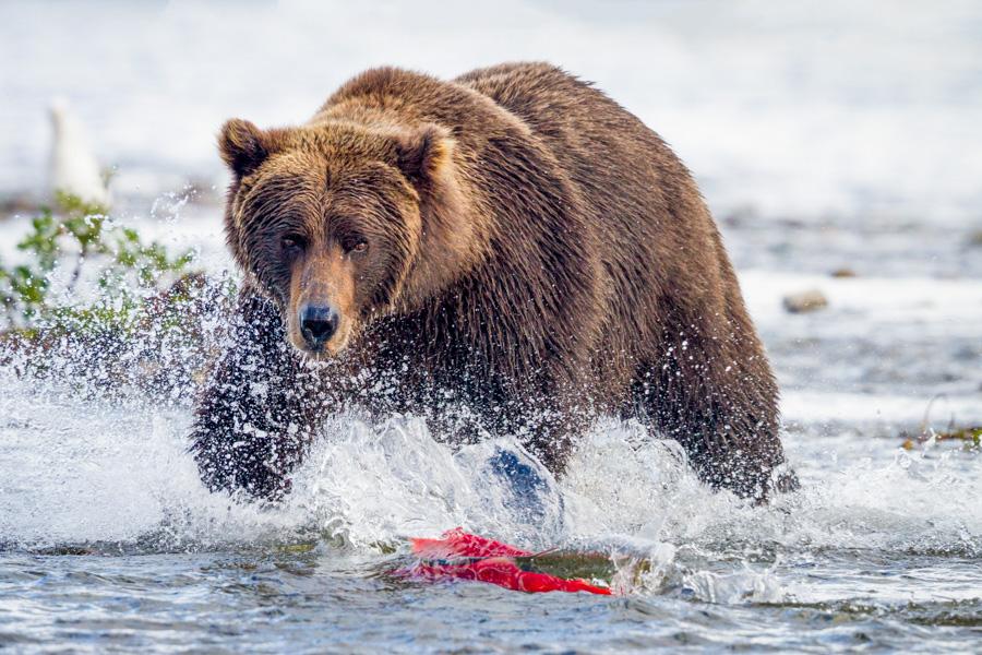 alaska brown bear workshop