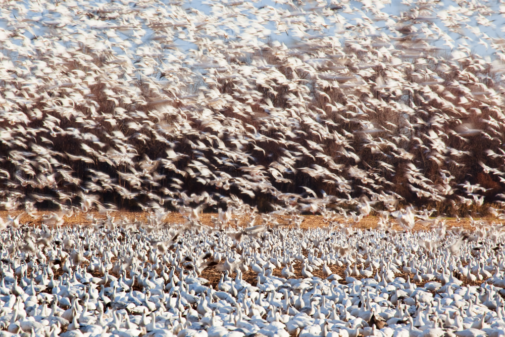 Snow Geese Taking Flight, Pocosin Lakes NWR, North Carolina USA
