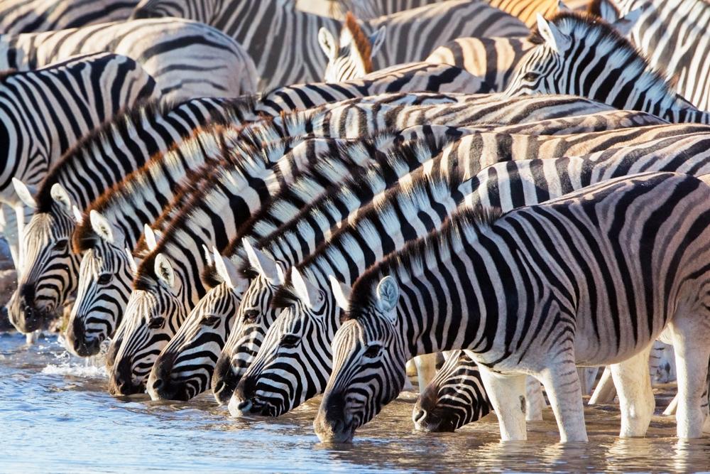 Zebras gathering at the watering hole, Etosha National Park, Namibia