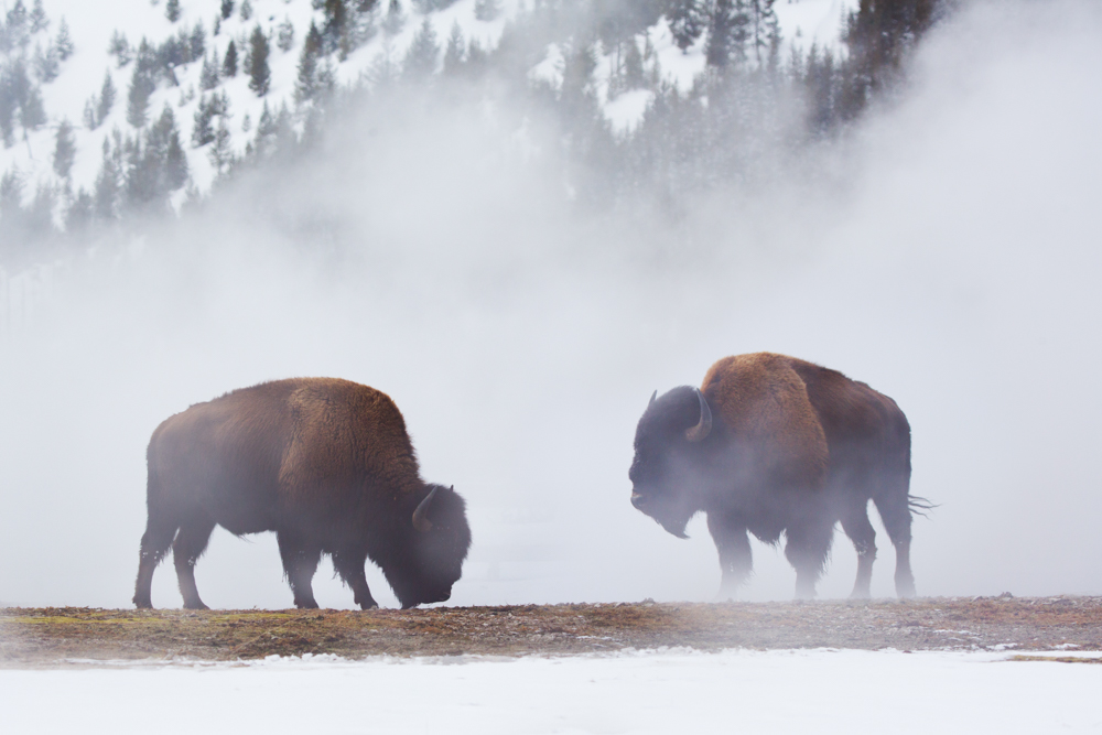Bison in brutal winter conditions, Yellowstone National Park, Wyoming, USA