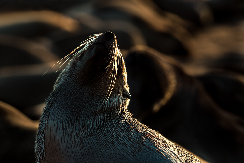 Cape fur seal in backlighting, Cape Cross Seal Reserve, Namibia