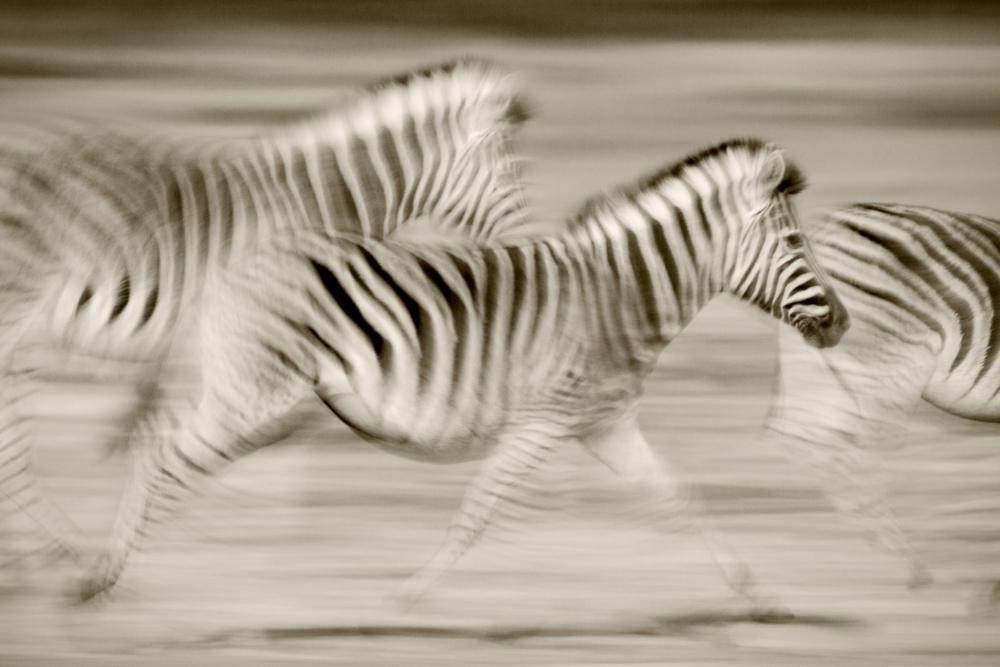 Zebras running across the Serengeti Plains, Serengeti National Park, Tanzania