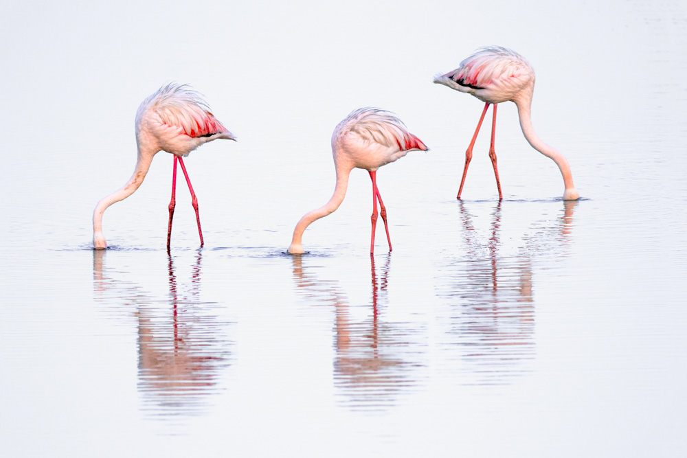 Greater flamingos feeding at sunrise, Walvis Bay, Namibia