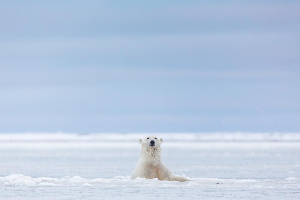 A Polar bear emerges above the ice, Barter Island, Arctic National Wildlife Refuge, Alaska