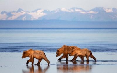 The Coastal Brown Bears of Alaska