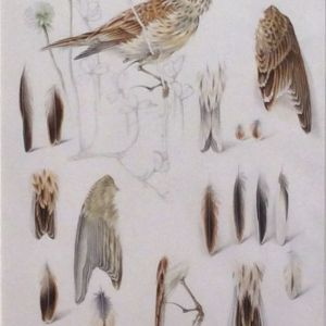 MILDRED E ELDRIDGE-WATERCOLOUR PAINTING-BIRDS
