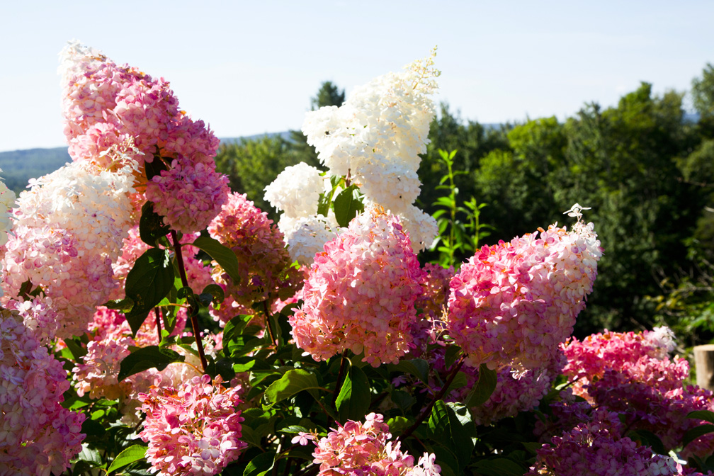 Hydrangea Flowers in My Garden 1