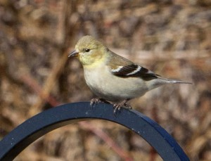 Female American Gold-Finch