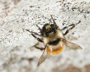 Upside down bee on a rock