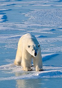 climate-change_polar-bear-on-ice.jpg
