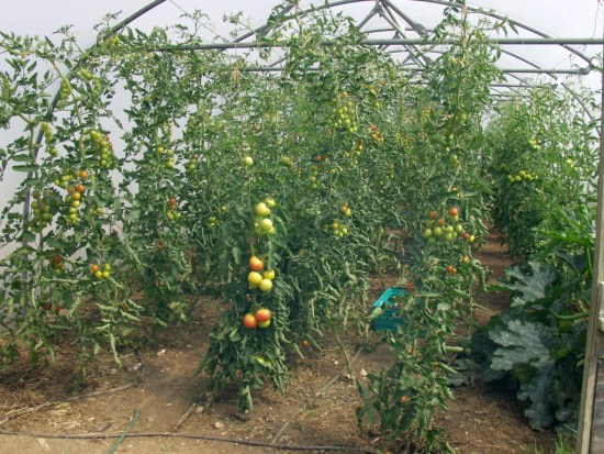 Tomatoes in the polytunnel