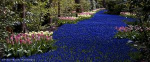 River of Muscari and Tulipa, Keukenhoff