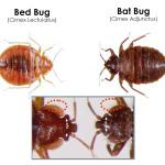 bat bug and bed bug