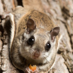 va flying squirrel removal