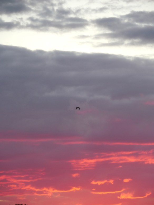 An Osprey heads home,