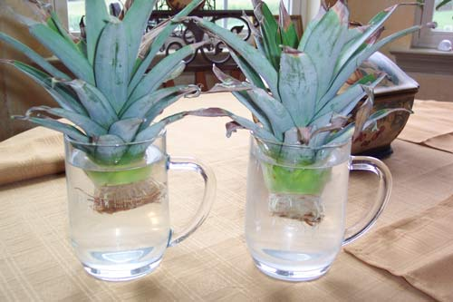 Regrow Fruits and Vegetables Growing Pineapple Tops in Glass Mugs