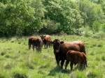 Devon Ruby Red Cattle