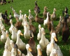 Youldon Moor Cottage ducks