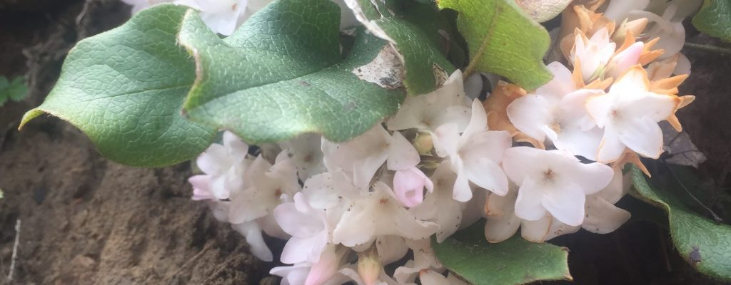 trailing arbutus wildflower walk