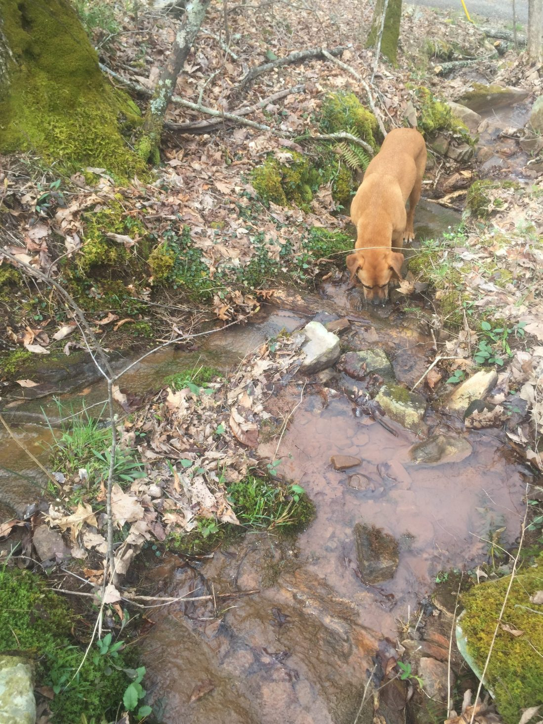 Dog drinking from stream wildflower walk