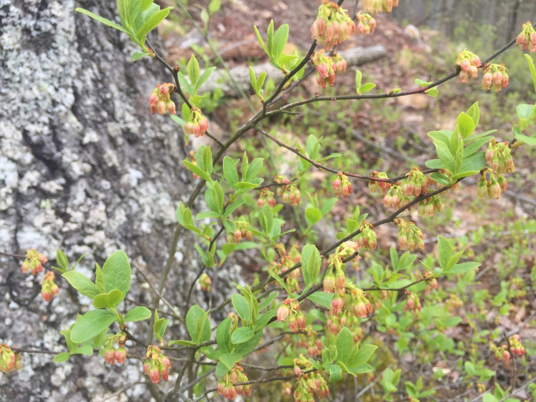 Huckleberry bushes in Spring