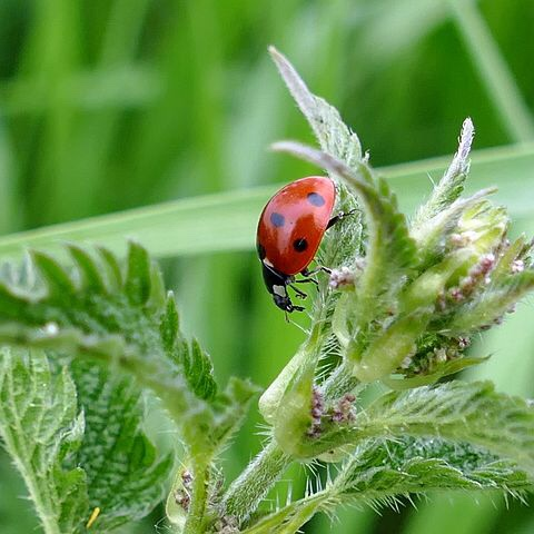 Stinging nettle and ladybug