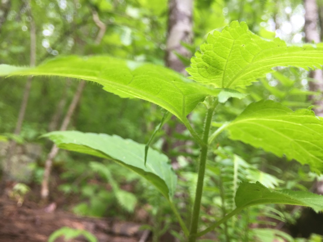 Stinging Nettle underside of leaves